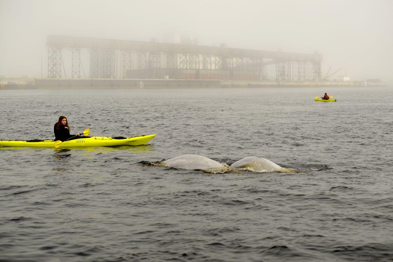 Begegnung mit Belugas.
