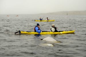 Mit dem Kajak zu Beluga-Walen in der Hudson Bay