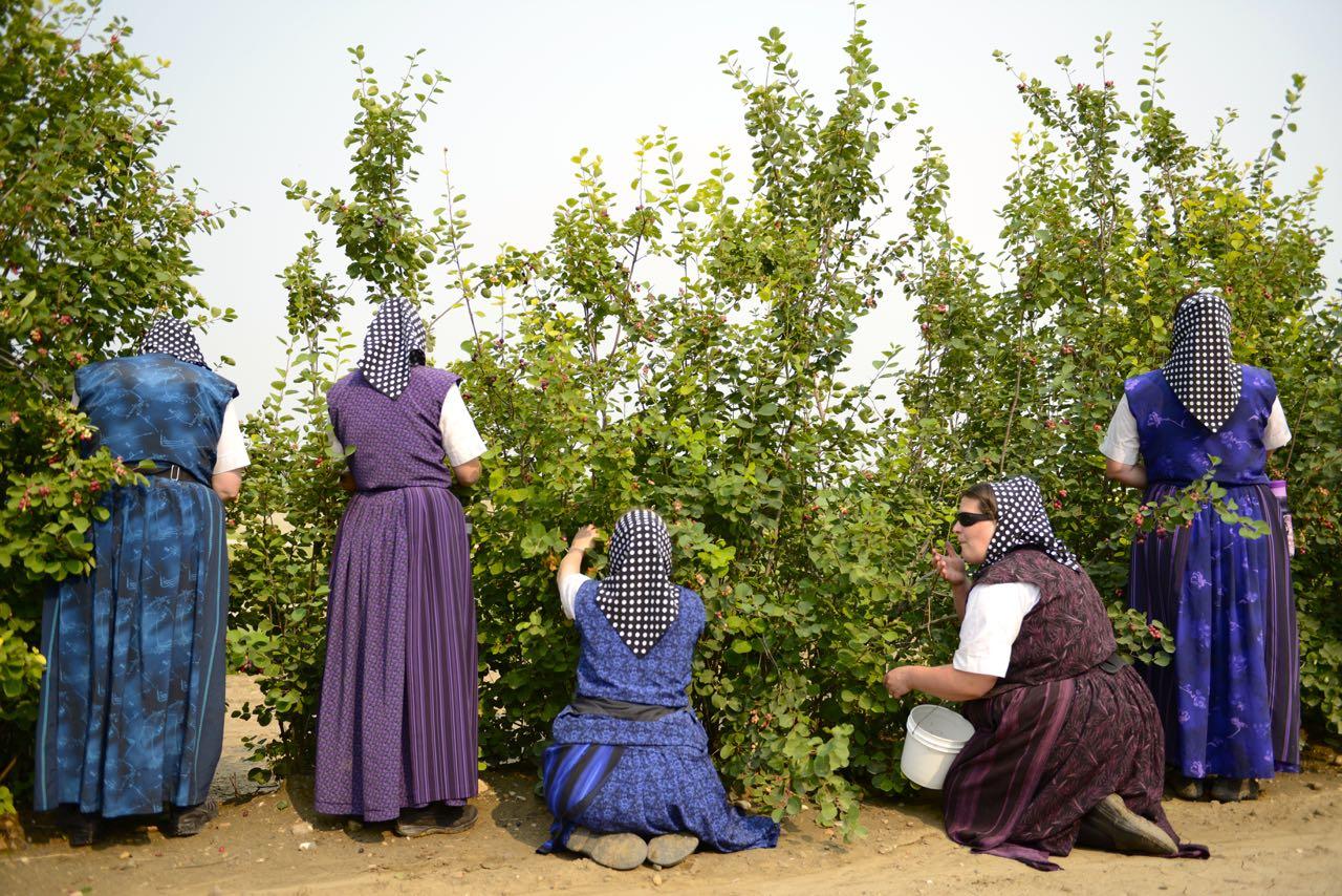 Frauen beim Beerenpflücken.